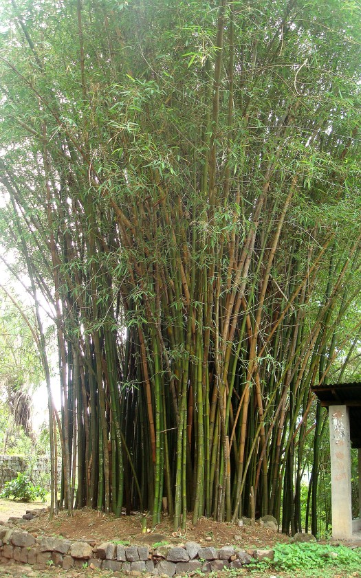 Green Bamboo...my favourite
